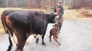 new-mama-cow-suddenly-frantic-how-i-deal