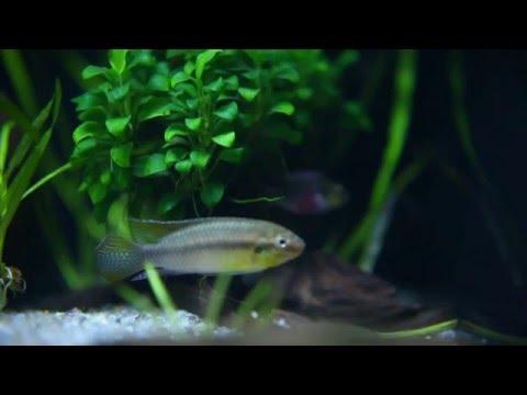"""Pelvicachromis subocellatus """"Matadi"""""""