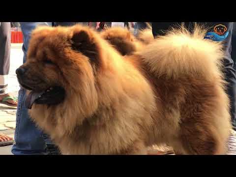 Ambala Kennel Dog show II