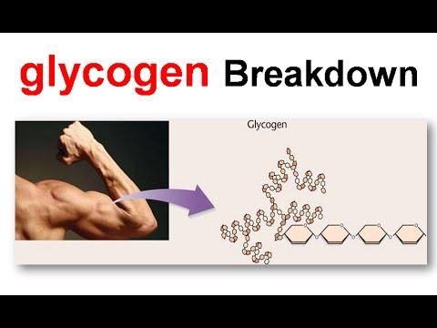 Breakdown of glycogen