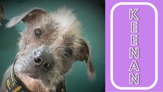 ALL ABOUT MY PUP KEENAN | HAIRLESS CHINESE CRESTED MIX