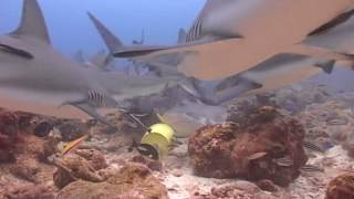Diving With Caribbean Black Tip Reef Sharks in Roatan