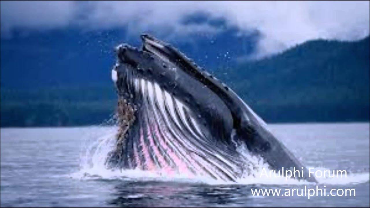 Balinalar nasıl ve ne yiyor