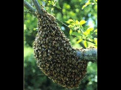 essaim et essaimage d'abeilles : et récupérer plus de 10000