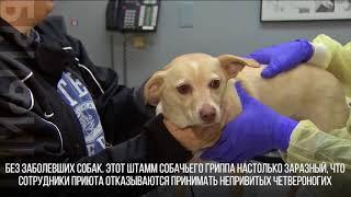 Собачий грипп