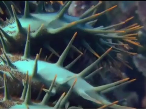 Scientists Take On Pacific Crown Of Thorns Starfish Threat (PMC)