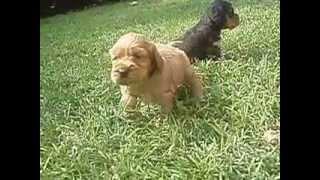 English Cocker Spaniel Puppies In Serci Kennel