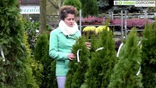 Kocham Tę Roślinę - Żywotnik Zachodni 'Smaragd' S03 E05
