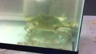 Crab Mating postmolt female