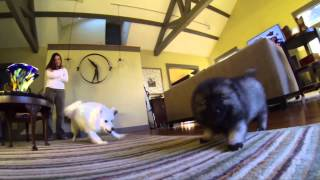Keeshond Puppy's First Meeting With Her New Sibling