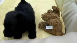 スコティッシュ・テリアの子犬 2010年1月21日生まれ 女の子 札幌・旭川...