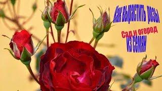 Как вырастить  розы из семян. Сад и огород выпуск 140