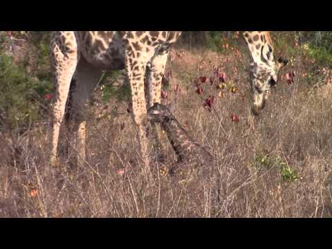 Thumbnail: PART 2 - *UNEDITED* - Incredible! Giraffe giving birth in the wild!