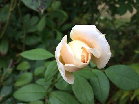 Rose 'Champagne Moment' 'Korvanaber' L'abricot en fleur