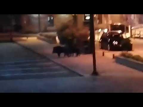 Tres jabalíes, de paseo nocturno por Combarro