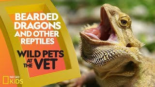 Bearded Dragons and Other Reptiles | Wild Pets at the Vet