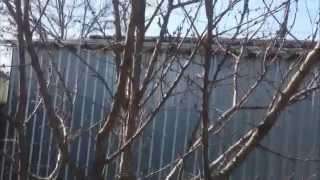 Обрезка плодовых деревьев ( pruning fruit trees )(Как правильно обрезать плодовые деревья ? Фруктовые деревья обрезаются практически по одним правилам,..., 2014-03-30T06:53:14.000Z)