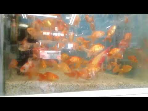AQUARIUM ORNAMENTAL FISH IN DOHA - QATAR