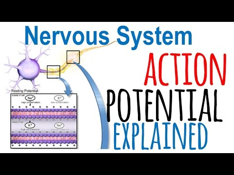 Action potential explained