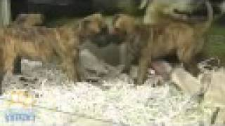 Staffordshire Bull Terrier X Boxer Puppies