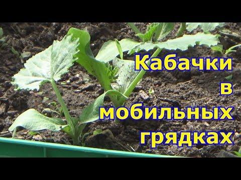 Выращивание кабачков в
