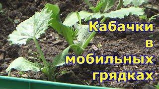 Выращивание кабачков в мобильных грядках
