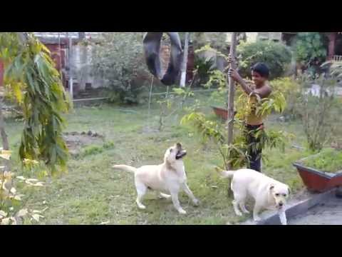 Labrador Dog attack training