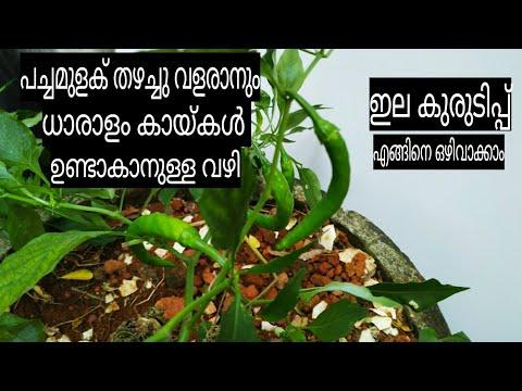 വീട്ടിൽ പച്ചമുളക് കൃഷി ചെയ്യുമ്പോൾ അറിയേണ്ടതെല്ലാം....Green Chilli Cultivation...