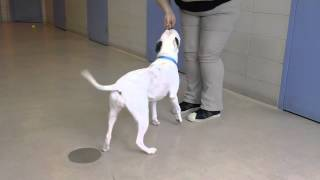 Purple Baby A 3-year-old American Bulldog Mix Available For Adoption At The Wisconsin Humane Society