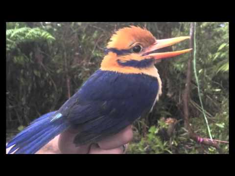 The Moustached Kingfisher