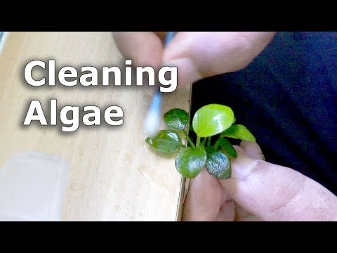 Removing Black Algae From Plant Surface