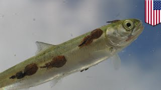 Sea lice wreaking havoc in salmon farms around the world   TomoNews