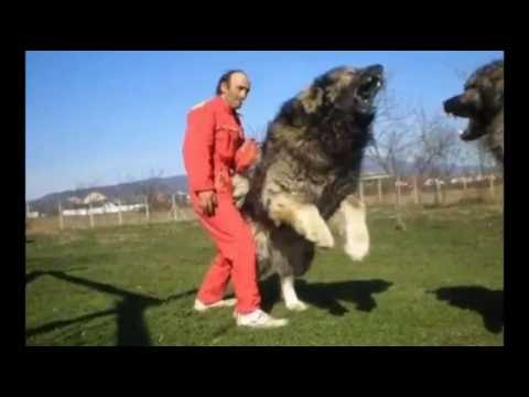 best top 10 Biggest and monster dogs in the world
