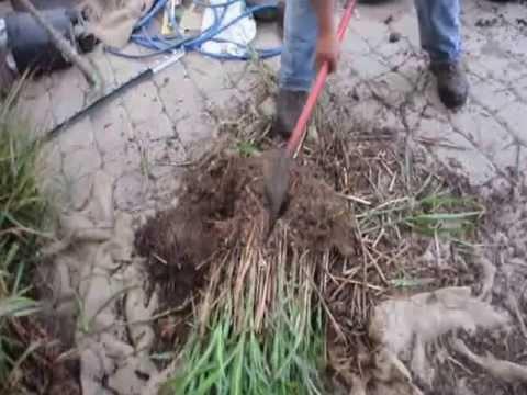 Dividing Ornamental Grasses for Landscaping Uses YouTube