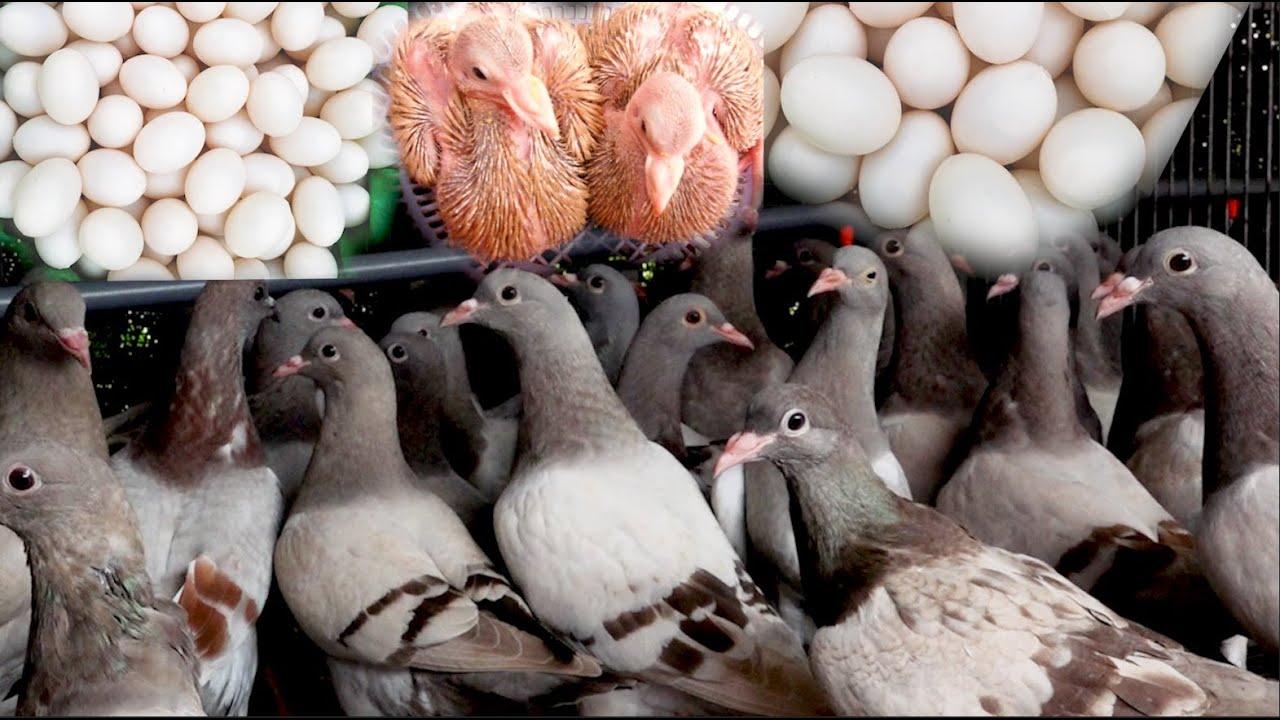 Bí kíp ép để chim Bồ Câu siêu đẻ trứng 25 lứa một năm, vét hết sạch trứng trong 3 năm nuôi