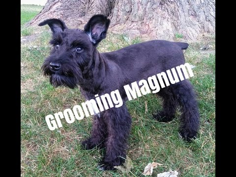 Grooming Magnum / Schnauzer Grooming / Grooming A Schnauzer Puppy