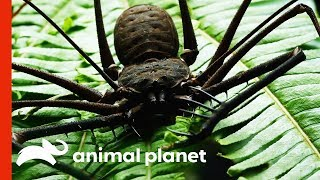 Fearsome-Looking Whip Spider Sheds Its Exoskeleton | Weird, True and Freaky