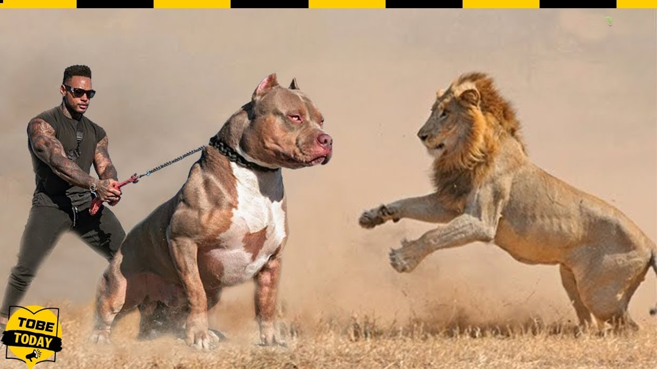 🔴 Hung Thần Pitbull – Ông Vua Chó Chiến Khiến Sư Tử Còn Phải Ngán