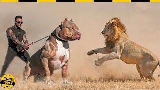 🔴 Hung Thần Pitbull - Ông Vua Chó Chiến Khiến Sư Tử Còn Phải Ngán