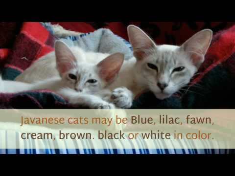 14 Interesting Things You Should Know About Javanese Cat