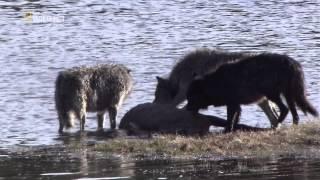 Das Geheimnis des schwarzen Wolfs HD