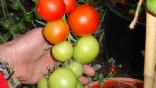 Allotment Diary Aug 16 : A Quick Update Of The Greenhouse Tomatoes Peppers & Chillies