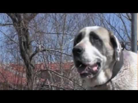 Anatolian Shepherd Dog Aksaray Malaklısı