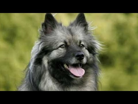 Keeshond | amazing facts in hindi | Animal Channel Hindi