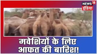 Heavy Rains In Rajasthan's Chittorgarh Become Havoc For Cattle, Many Camels And Sheep Drown