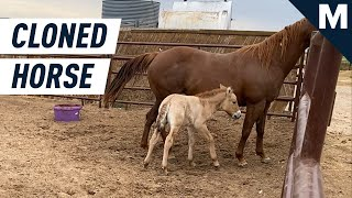 Scientists Have Cloned an Endangered Horse   Mashable