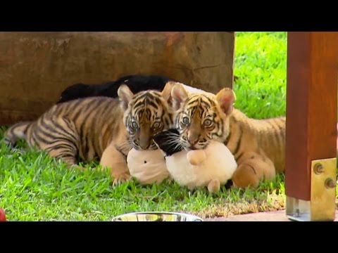 Cute Tiger Cubs Pose For Cameras   Tigers About The House   BBC