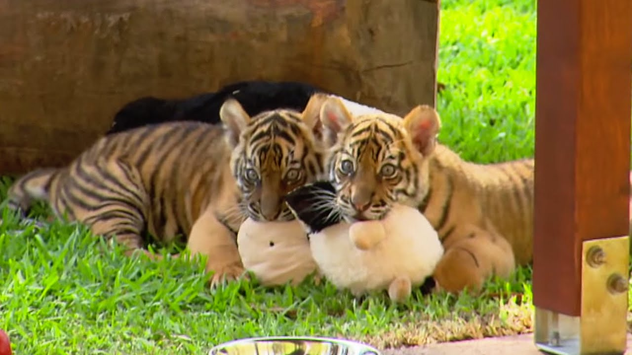The cutest tiger in the world images for Cutest house in the world