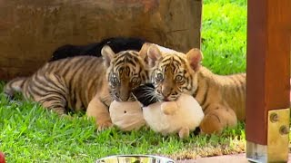 Cute Tiger Cubs Pose For Cameras - Tigers About The House - BBC