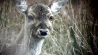 How to head shoot deer out hunting - age restricted - contains graphic images thumbnail